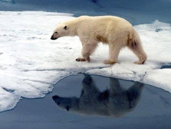 cambio climatico osos polar