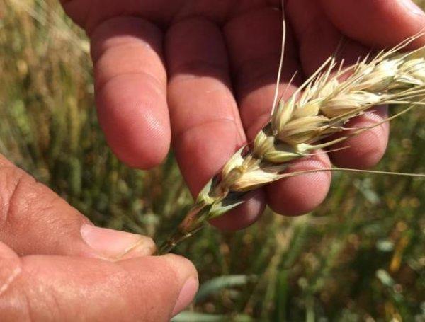 producción trigo Bolivia