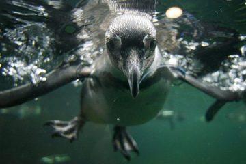 Chile Pingüinos Humboldt