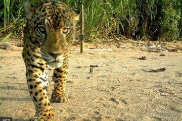 Jaguar Parque Madidi